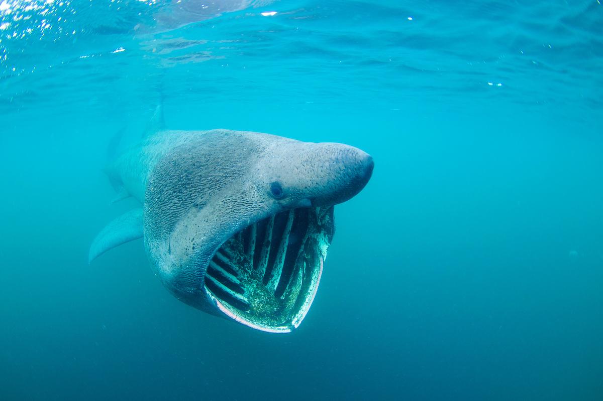 Basking Shark Images | www.imgkid.com - The Image Kid Has It!