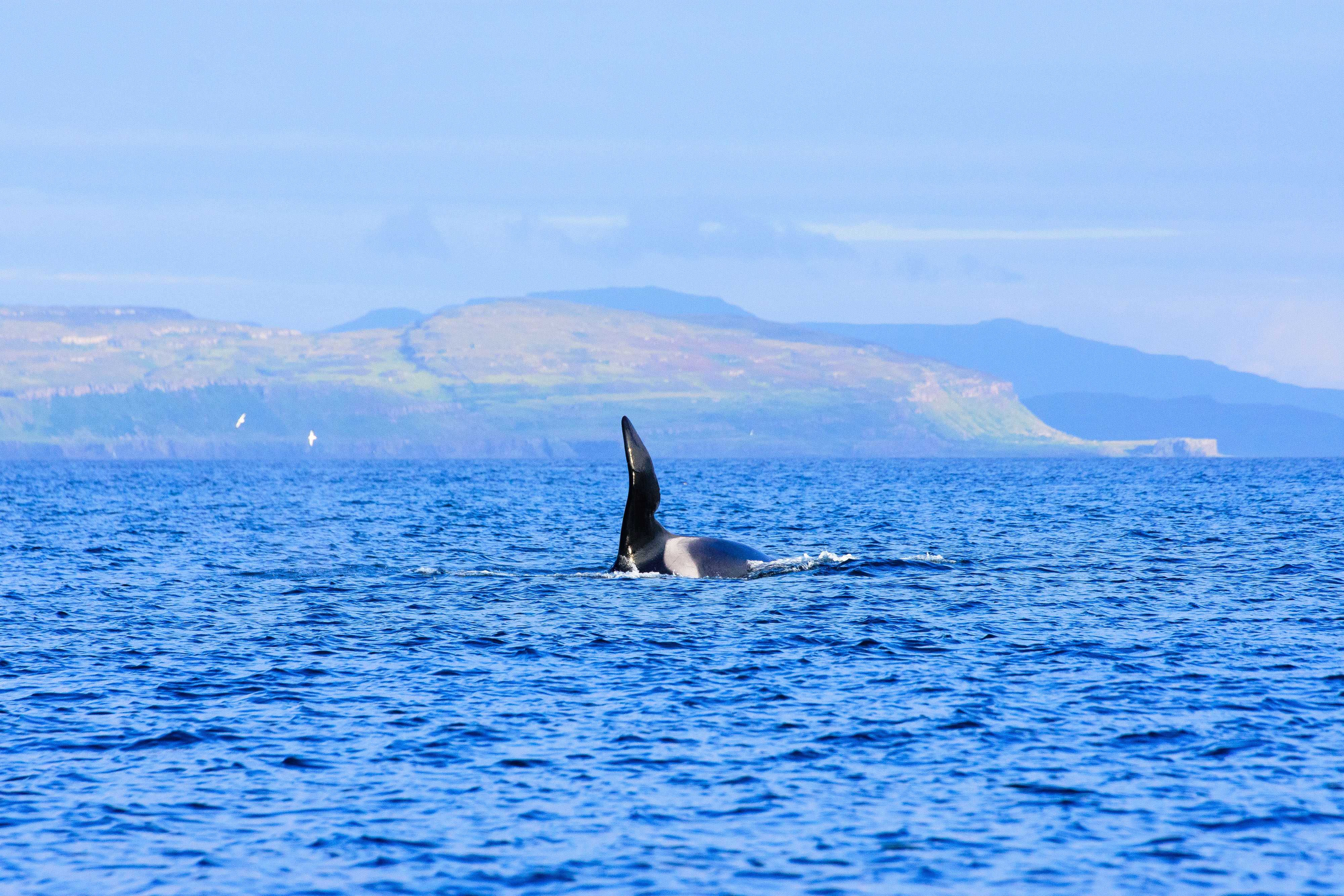 John Coe the Orca in the Hebrides