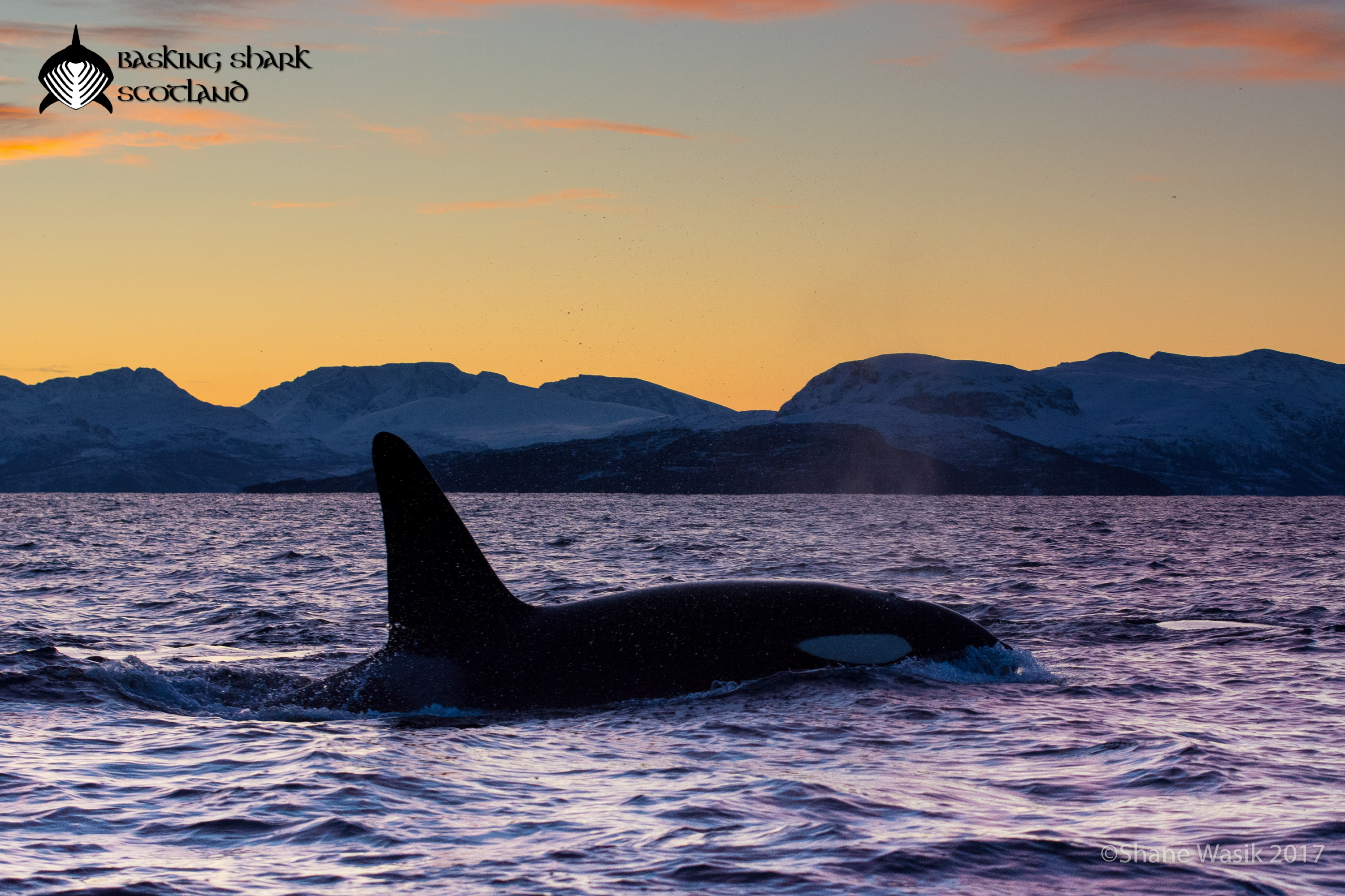 Orca at sunset in Norway