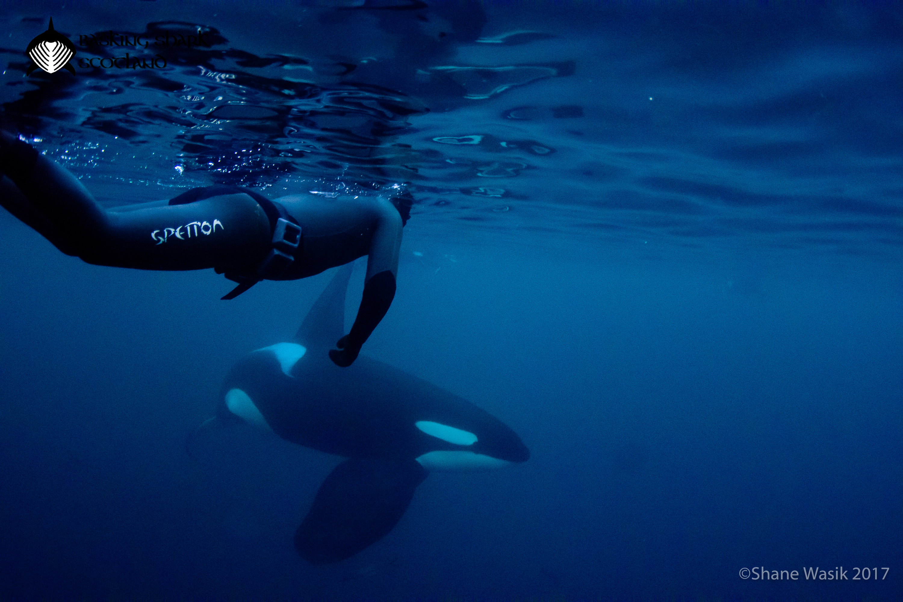 Free diving with a large male orca in Norway