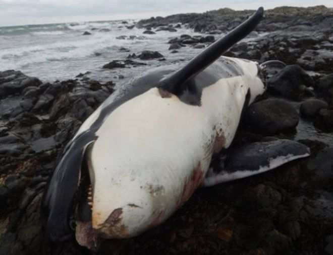 Lulu the orca stranded on Tiree